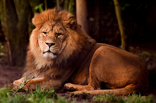 Barbary Lion is an Endangered Animal
