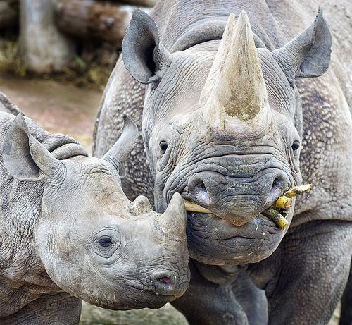 Black Rhino is an Endangered Animal