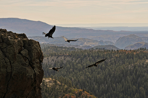 California Condor is an Endangered Animal