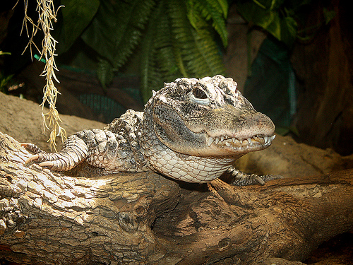 Chinese Alligator is an Endangered Animal