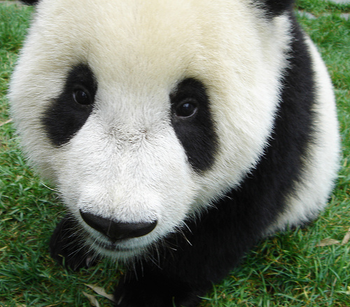 Giant Panda is an Endangered Animal
