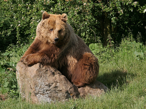 Grizzly Bear is an Endangered Animal