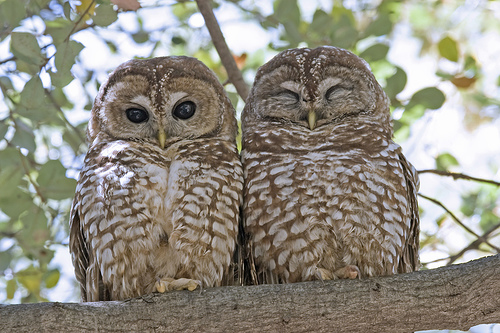 Mexican Spotted Owl is an Endangered Animal