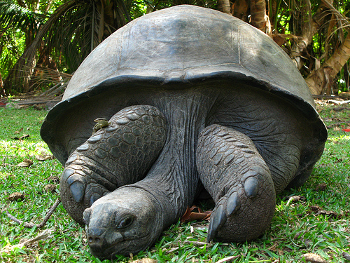 Seychelles Giant Tortoise is an Endangered Animal
