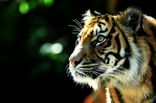 Sumatran Tiger is an Endangered Animal