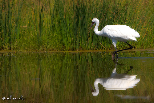 Whooping Crane is an Endangered Animal